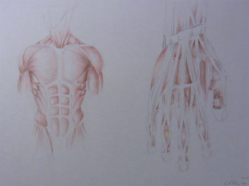Burbaum_drawings_muskeln